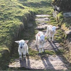 ovejas-hiya